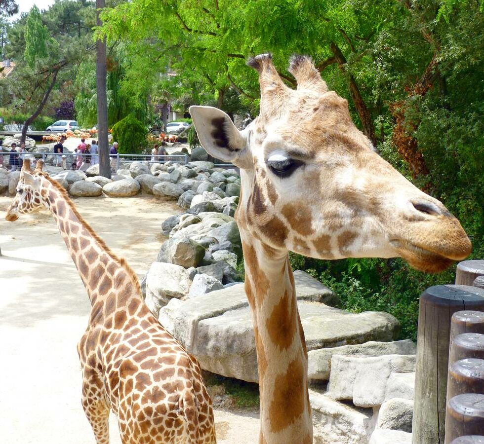 girafe-zoo_de_la_palmyre_plaisirsnature